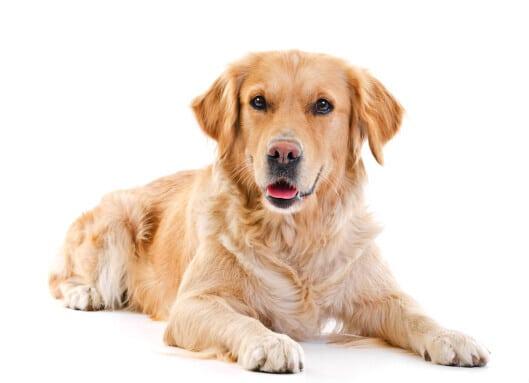 Posłanie dla dużego psa goldena retrievera