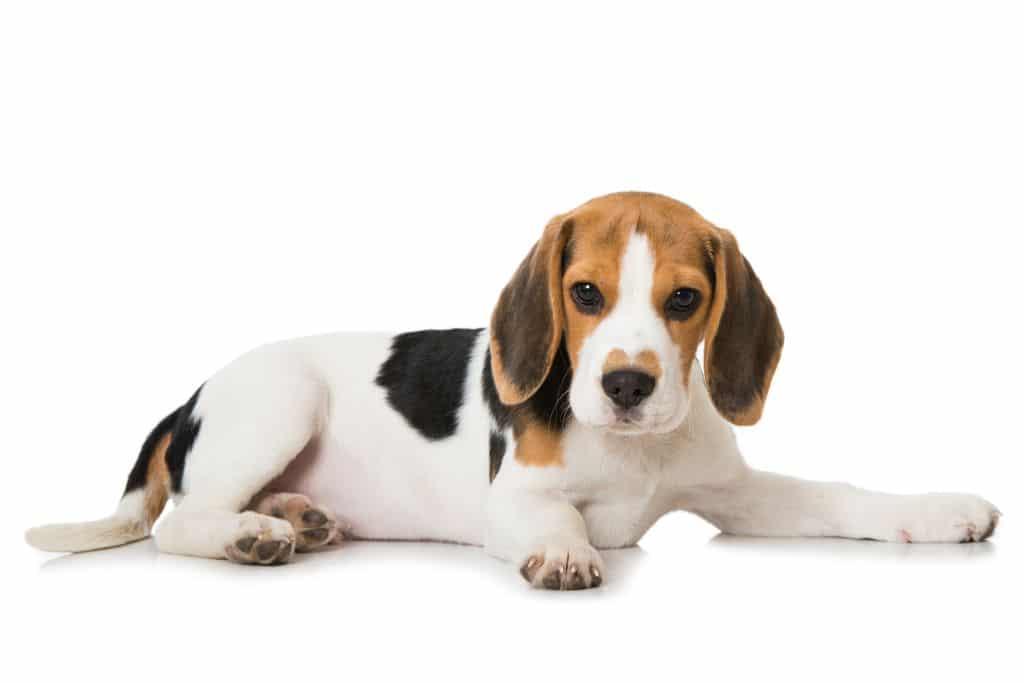 Legowisko dla beagle