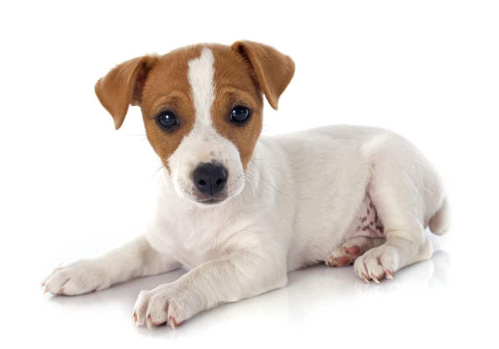 Posłanie dla jack russell terriera